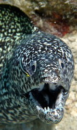 Moray eel - scuba diving st maarten