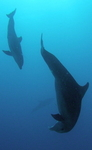 playful dolphins - diving on st maarten